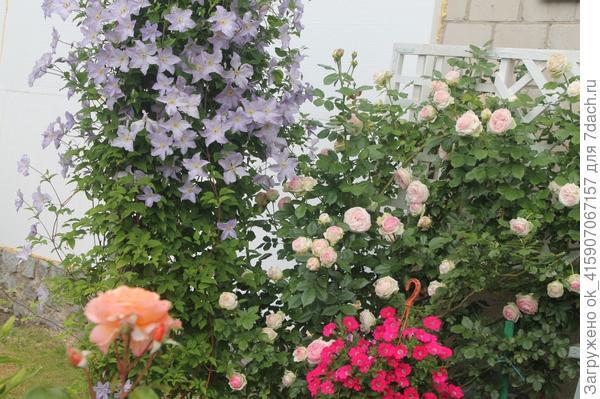 роза и клематис.