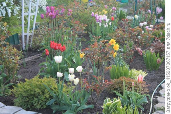 Тюльпаны когда лучше садить