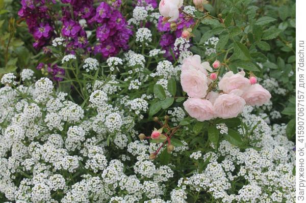 розы и алиссум