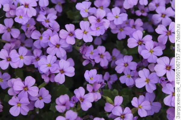 Обриета очень обильно цветёт.
