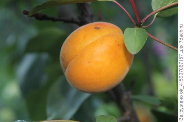 абрикос.