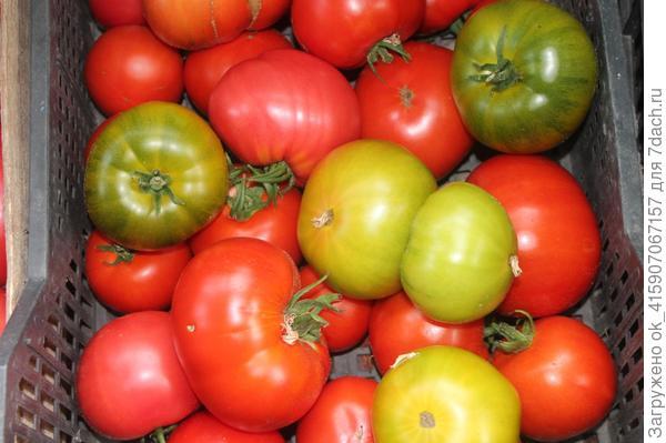 любимые томаты