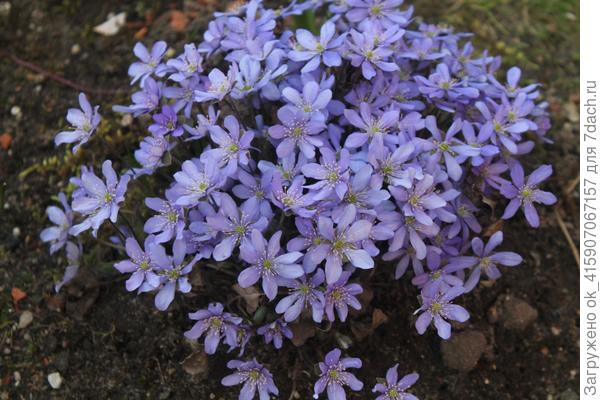 Довольно долго цветёт печёночница