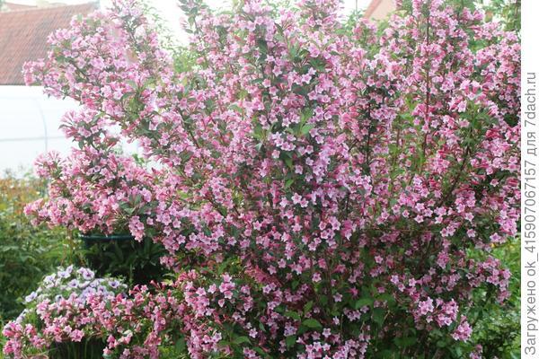 Праздник цветения вейгелы