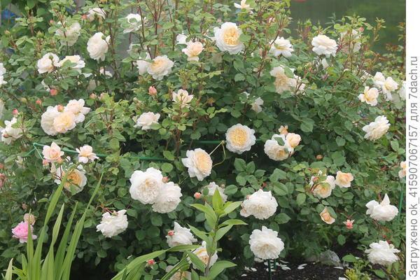 Крокус роуз. Это один куст