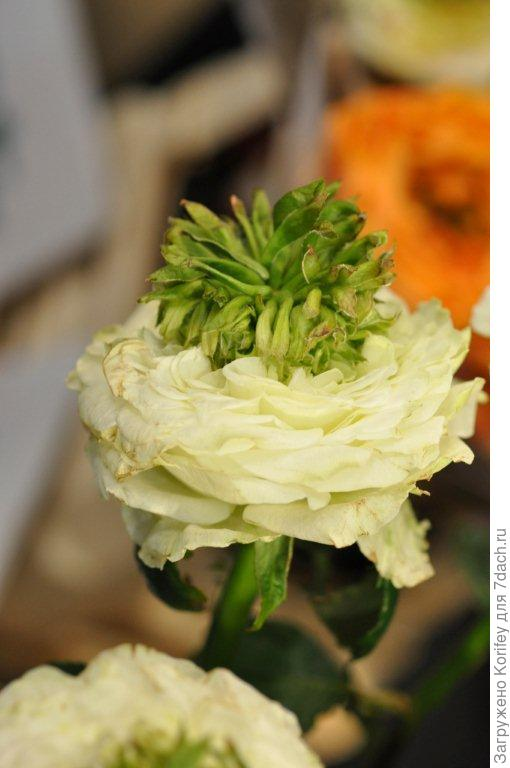 """Белая """"ананасная"""" роза"""
