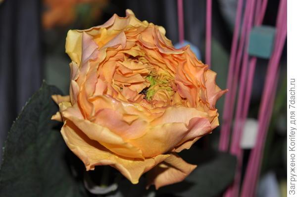 """Оранжевая """"ананасная"""" роза в полуроспуске"""