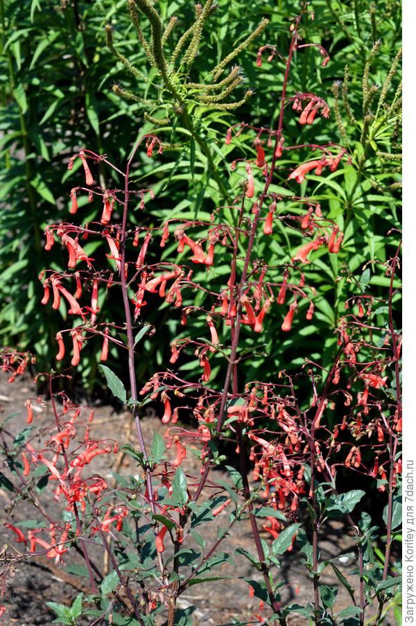 Холодостойкие садовые фуксии - цветок близко