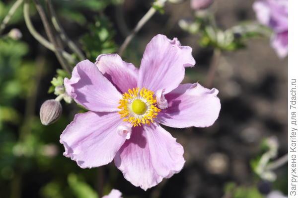 Ветреница (анемона осенняя) цветок крупно