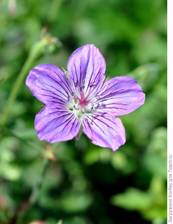 Geranium wallichianum 'Sweet Heidi