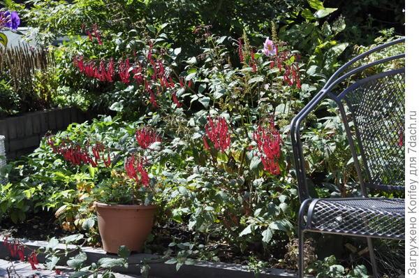 Холодостойкие садовые фуксии