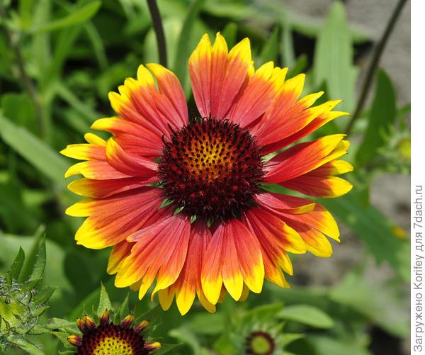 Гайлардия двухцветная цветок близко