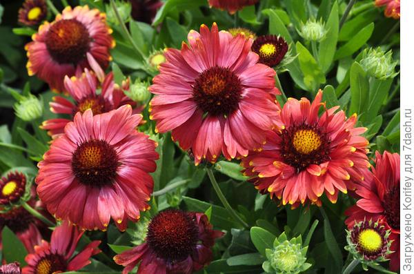 Гайлардия темная цветок близко