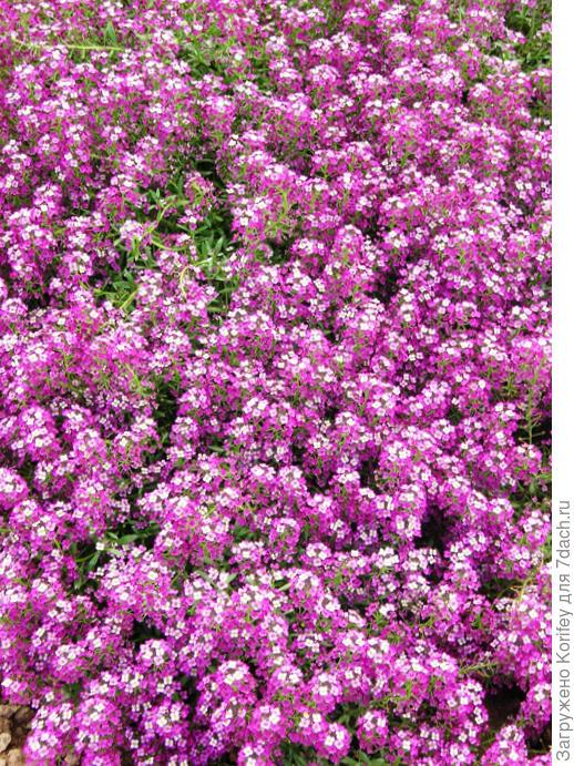 Алиссум ярко-розовый