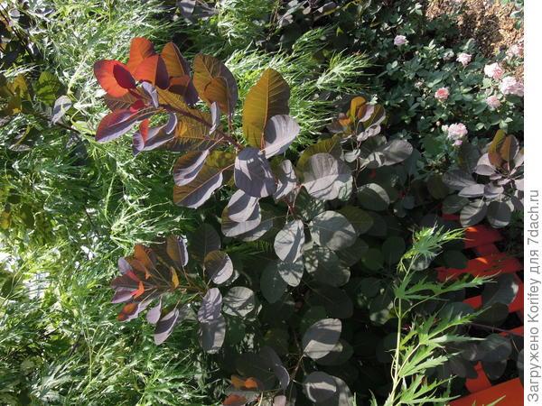 Скумпия обыкн, или кожевенная (Cotinus coggygria)