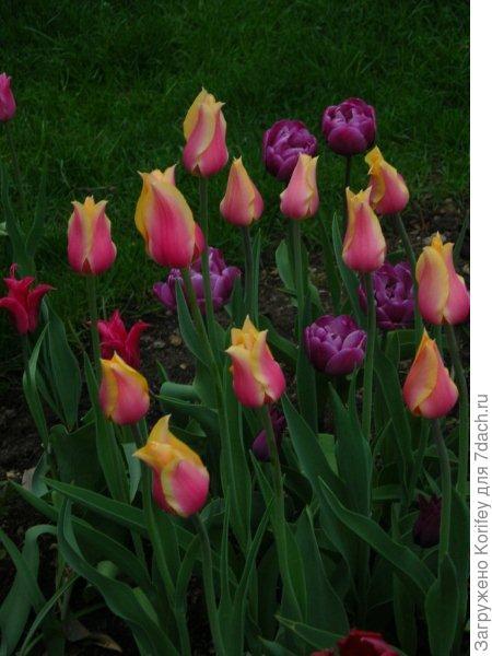 Тюльпаны у меня на даче лет 5-6 тому назад 2