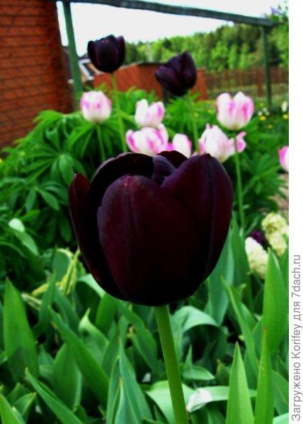 Черные и белые тюльпаны