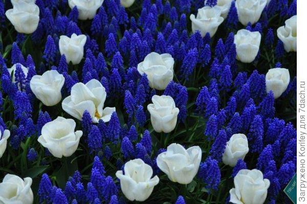 Armeniacum + Tulip Calgary_Tr_DSC_0051