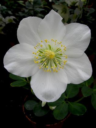Морозник черный (niger), но цветет белыми цветами
