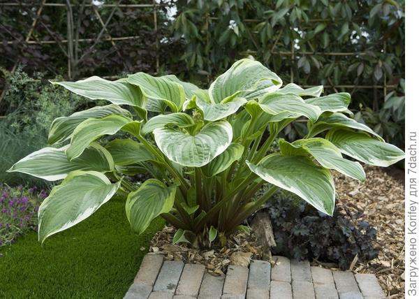 Hosta Fragrant Fire