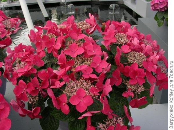 Kardinal_Hydrangea macrophylla_DSCN7677