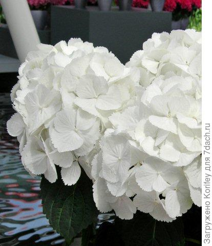 First White_Hydrangea macrophylla_DSCN7647_1