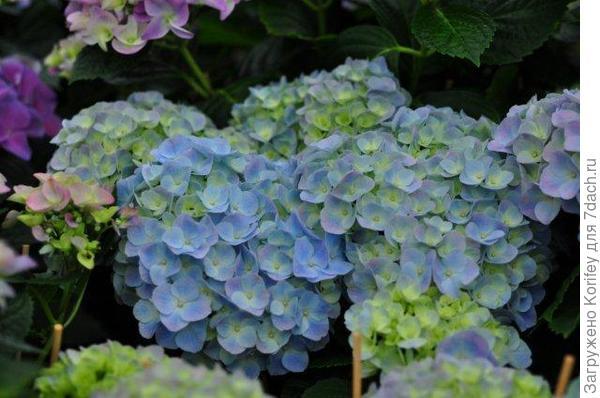 Early Blue_H.macrophylla_DSC_5128