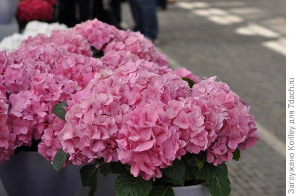 CITYLINE® Vienna - Hydrangea macrophylla _DSC_0922