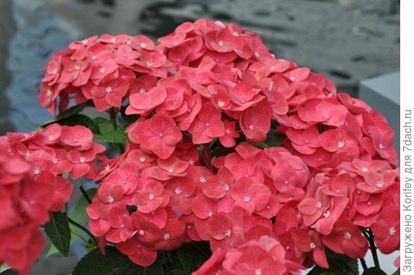 CITYLINE® Paris - Hydrangea macrophylla 'Paris Rapa' _DSC_0912
