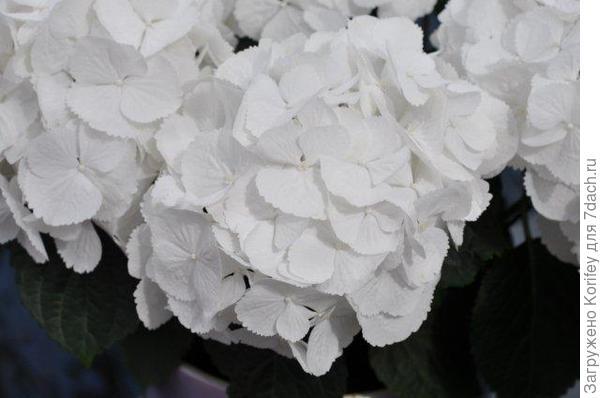 Schneeball_H.macrophylla_DSC_0897