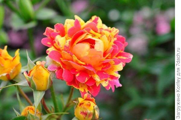 Rosa des Cisterciens, Floribunda, Delbard 1998_DSC7545 (27)
