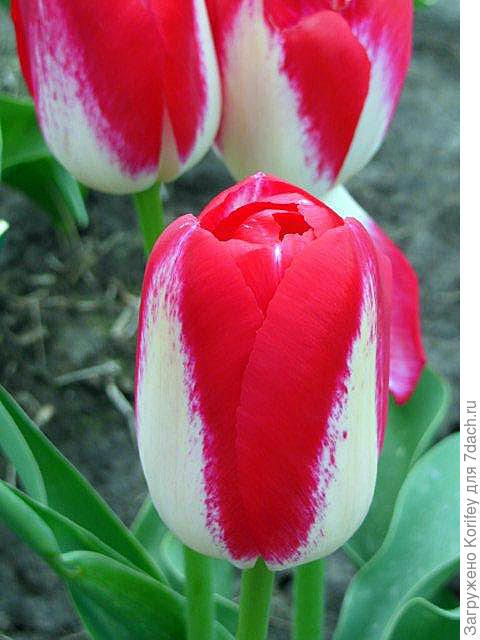 Интересный попугайный тюльпан 2