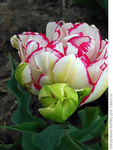Интересный бахромчатый тюльпан 3