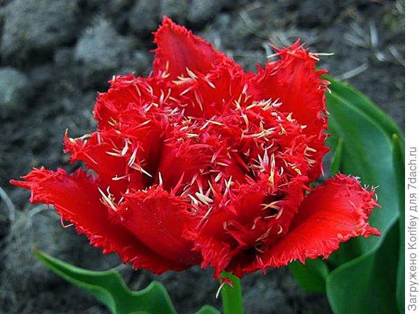 Интересный бахромчатый тюльпан 4