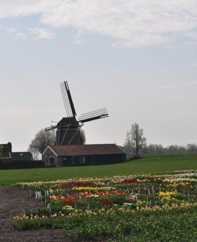 Вот так выглядят сам испытательный участок для сеянцев тюльпанов 3