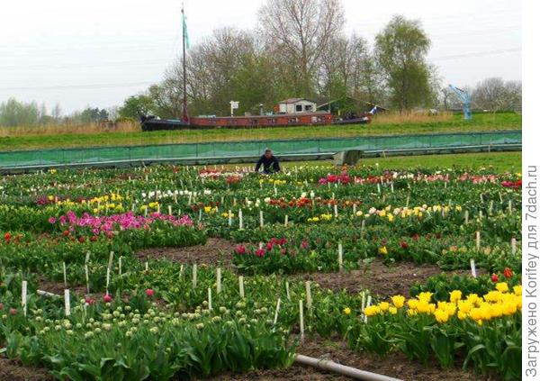 Вот так выглядят сам испытательный участок для сеянцев тюльпанов 2