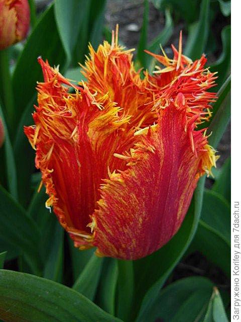Интересный бахромчатый тюльпан