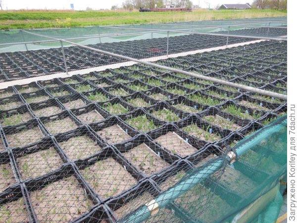 Вот так выглядят школки для сеянцев тюльпанов