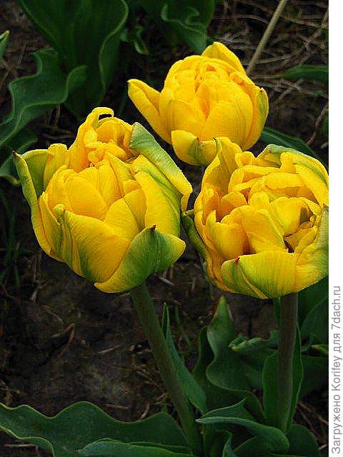 Новый желтый ранний махровый сорт