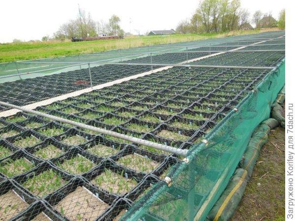 Вот так выглядят школки для сеянцев тюльпанов 2
