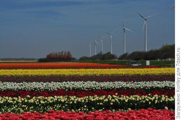 Для начала несколько фотографий с голландских полей 3