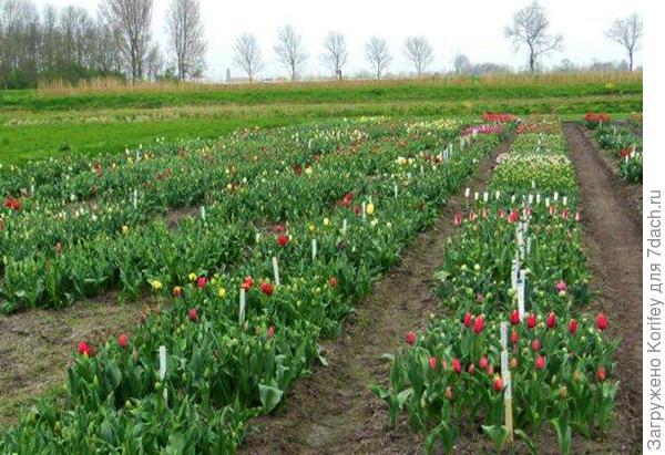 Вот так выглядят сам испытательный участок для сеянцев тюльпанов