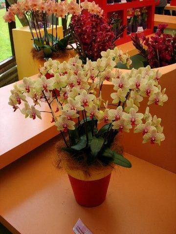 Phalaenopsis Floriclone A360421_DSC_2237 аа
