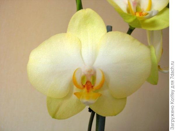 Светло- желтая с белым пятном