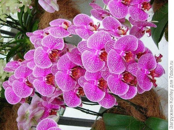 Phalaenopsis Anthura Perugia_DSC_2394 ррр