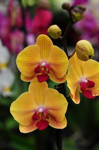 Phalaenopsis Soloid Gold_DSC_5132