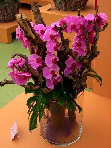 Phalaenopsis Floriclone A360421_DSC_2237  тт