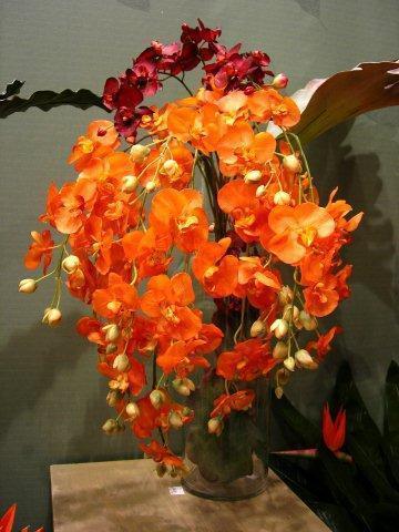 Phalaenopsis Soloid Gold_DSC_5132ыы