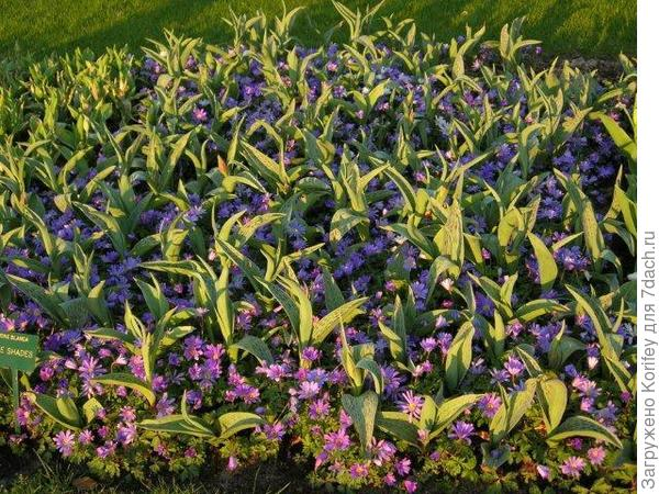Тюльпаны и анемона нежная 4