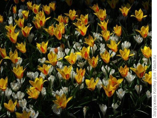 Невысокие ранние тюльпаны и желтые крокусы ддд